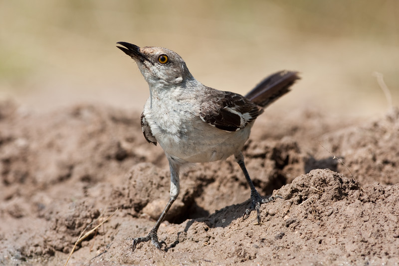 Northern Mockingbird, Mimus polyglottos, the only mockingbird commonly found in North America, looking for water and relief from summer heat, on a ranch in South Texas. The Northern Mockingbird is also the state bird of Texas and several other states.