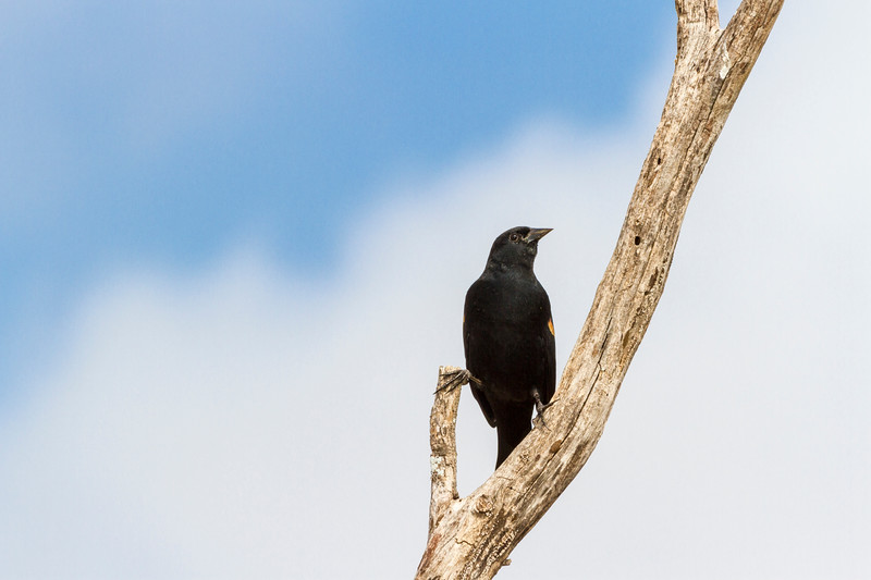 Red-winged Blackbird, Agelaius phoeniceus, in Southwest Texas.