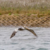 Brown Pelican flying low over water looking for fish, in the Aransas Pass National Wildlife Refuge.
