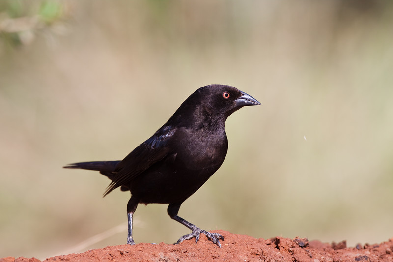 Bronzed Cowbird, Molothrus aeneus, looking for water and relief from summer heat, on a ranch in South Texas. Like all cowbirds, this bird is a brood parasite: it lays its eggs in the nests of other birds.