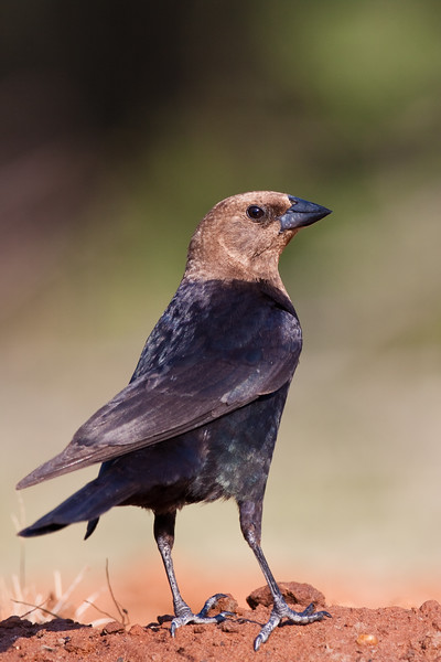 Brown-headed Cowbird, Molothrus ater, looking for water and relief from summer heat, on a ranch in South Texas. Like all cowbirds, this bird is a brood parasite: it lays its eggs in the nests of other birds.