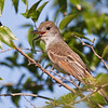 Ash-throated Flycatcher, Myiarchus cinerascens, trying to keep cool,  on a ranch in South Texas.