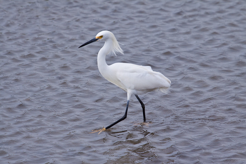 Snowy Egret, Egretta thula, a small heron, fishing in the coastal marshes at South Padre Island Nature and Birding Center on the Texas Gulf Coast.