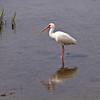 Reflections of American White Ibis, Eudocimus albus, hunting in coastal marshes on South Padre Island on the Texas Gulf Coast at the South Padre Island Birding and Nature Center.