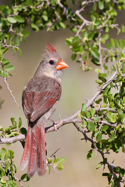 Northern Cardinal, Cardinalis cardinalis, looking for water and relief from summer heat, on a ranch in South Texas.