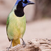 Green Jay, Cyanocorax yncas, at the Javelina-Martin ranch and refuge near McAllen, Texas, in the Rio Grande Valley. This ranch and conservation refuge is part of a coalition of ranchers in the Rio Grande Valley which promotes restoration of natural habitats for native species.
