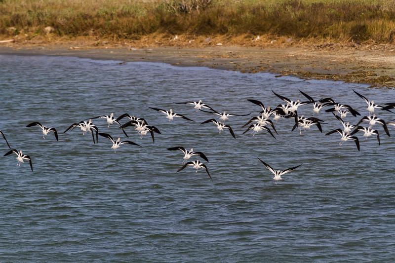 American Avocets wading near beach in Port Aransas Bay, Port Aransas, Texas.