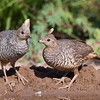 Scaled Quail, Callipepla squamata, also commonly called Blue Quail, looking for water and relief from summer heat, on a ranch in South Texas.