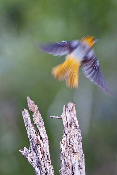 Bullock's Oriole, Icterus bullockii, trying to keep cool during a hot summer on a ranch in South Texas.