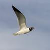 Laughing Gull in flight near Port Aransas Harbor, Port Aransas, Texas.