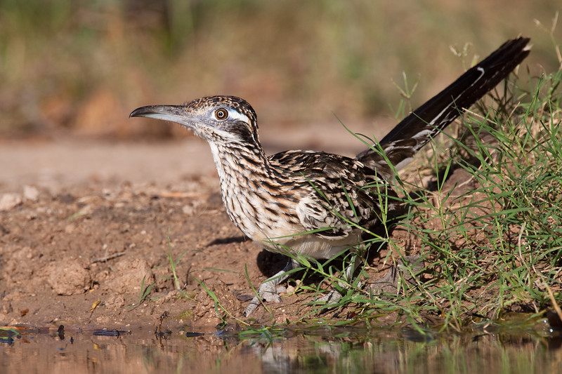 Greater Roadrunner, Geococcyx californianus, looking for water and relief from summer heat, at a ranch in South Texas.