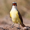 Great Kiskadee, Pitangus sulphuratus, a large and colorful bird of the tyrant flycatcher family, on a ranch in South Texas.