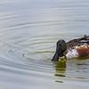 Northern Shoveler duck fishing at the Birding and Nature Center in Port Aransas, Texas.