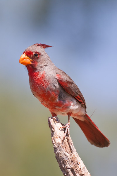 Pyrrhuloxia, Cardinalis sinuatus, a medium-sized North American bird in the same genus as the Northern Cardinal, looking for water and relief from summer heat, on a ranch in South Texas.