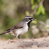 Black-throated Sparrow, Amphispiza bilineata, on a ranch in South Texas.