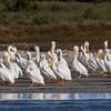 Squadron of American White Pelicans on beach in Port Aransas Bay, Port Aransas, Texas.