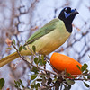 Green Jay, Cyanocorax yncas, feeding on an orange, at the Javelina-Martin ranch and bird refuge near McAllen, Texas.