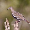 White-winged Dove, Zenaida asiatica, on a ranch in South Texas.