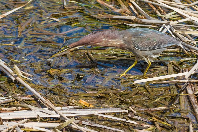 Green Heron stalking prey at the Birding and Nature Center in Port Aransas, Texas.