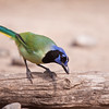 Green Jay, Cyanocorax yncas, at the Javelina-Martin ranch and bird refuge near McAllen, Texas.