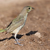 Painted Bunting Female, Passerina ciris, looking for water and relief from summer heat, on a ranch in South Texas.
