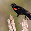 Red-winged Blackbird, Agelaius phoeniceus, looking for water and relief from summer heat, on a ranch in South Texas.