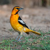 Bullock's Oriole, Icterus bullockii, looking for water and relief from summer heat, on a ranch in South Texas.