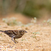 Female Red-winged Blackbird, Agelaius phoeniceus, in Southwest Texas.