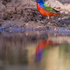 Painted Bunting, Passerina ciris, amazingly colorful bird, looking for water and relief from summer heat, on a ranch in South Texas.