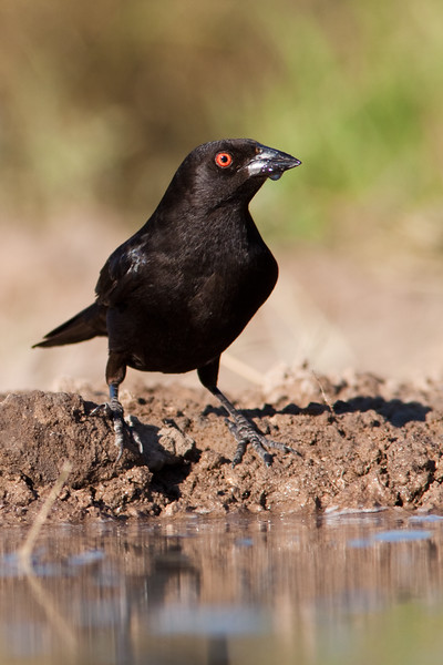Bronzed Cowbird, Molothrus aeneus, looking for a cooling drink at a pond on a ranch in South Texas.