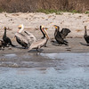 Brown Pelicans wading at shoreline in Port Aransas Harbor.