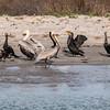 Brown Pelicans wading at shoreline in Port Aransas Harbor.