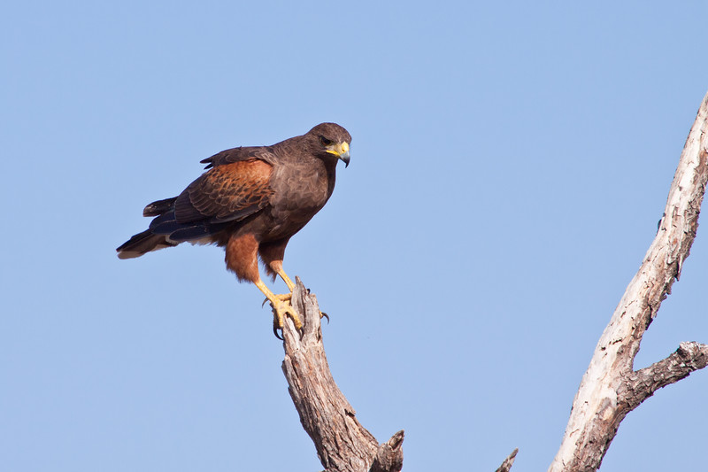 Harris's Hawk or Harris Hawk, Parabuteo unicinctus, at the Javelina-Martin ranch and refuge near McAllen, Texas, in the Rio Grande Valley. This ranch and conservation refuge is part of a coalition of ranchers in the Rio Grande Valley which promotes restoration of natural habitats for native species.