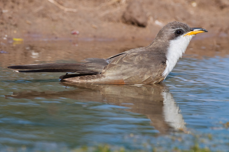 """Yellow-billed Cuckoo, Coccyzus americanus, sometimes called the """"rain crow"""" -refer to a perception that the bird has a  habit of calling on hot days, often presaging thunderstorms. This cuckoo is looking for water and relief from the summer heat, on a ranch in South Texas."""