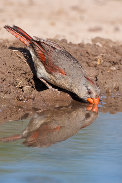 Female Northern Cardinal, Cardinalis cardinalis, looking for water and relief from summer heat, on a ranch in South Texas.