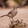 Curve-billed Thrasher, Toxostoma curvirostre, at the Javelina-Martin ranch and bird refuge near McAllen, Texas.