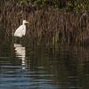 Great Egret in marshes of Aransas Bay near Port Aransas, Texas.