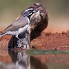 Black-throated Sparrow, Amphispiza bilineata, looking for water and relief from summer heat, on a ranch in South Texas.