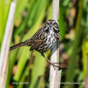 Sparrows & Towhees