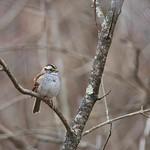 White Throated Sparrow (Zonotrichia albicollis)