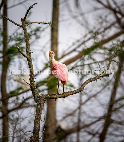 Swamp Birds