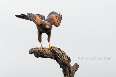 Harris Hawk