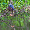 Green Heron in breeding plumage along Armand Bayou in Pasadena Texas.