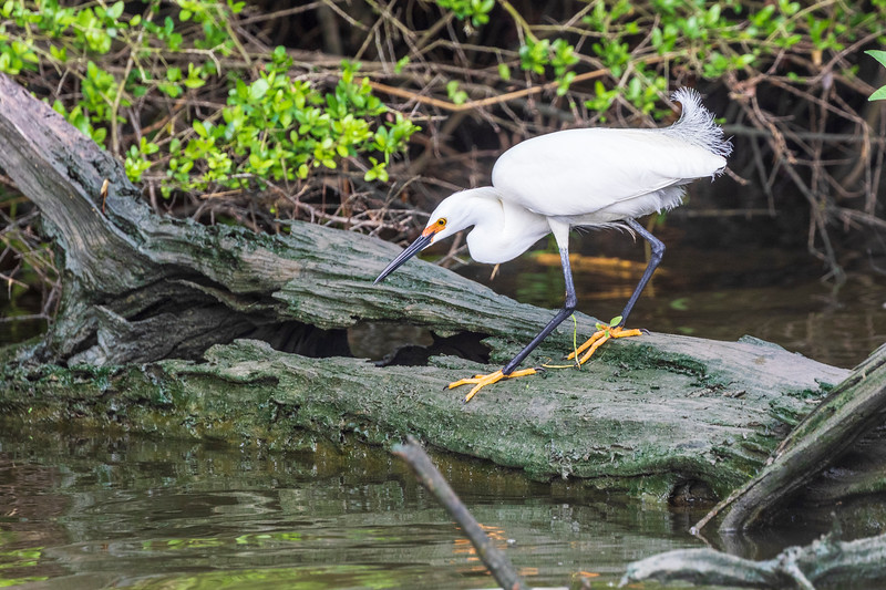 Snowy Egret in breeding plumage on Armand Bayou in Pasadena Texas.