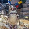 Feeding the Humboldt Penguins at Moody Gardens Aquarium Pyramid in Galveston.