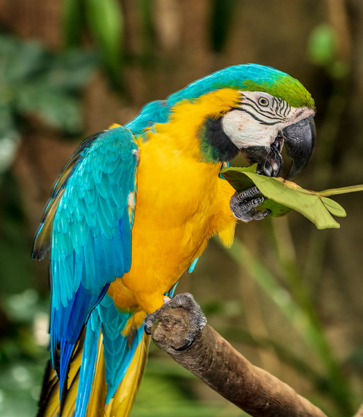 Blue-and-Gold-Macaw in rainforest pyramid in Moody Gardens in Galveston, Texas.