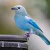 Blue gray tanager in rainforest pyramid in Moody Gardens in Galveston, Texas.