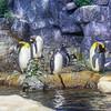 King Penguins exhibit and habitat at Moody Gardens Aquarium Pyramid in Galveston.