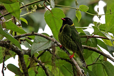 Green and Black Fruiteater