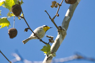 Yellow Throated Warbler (Setophaga dominica)